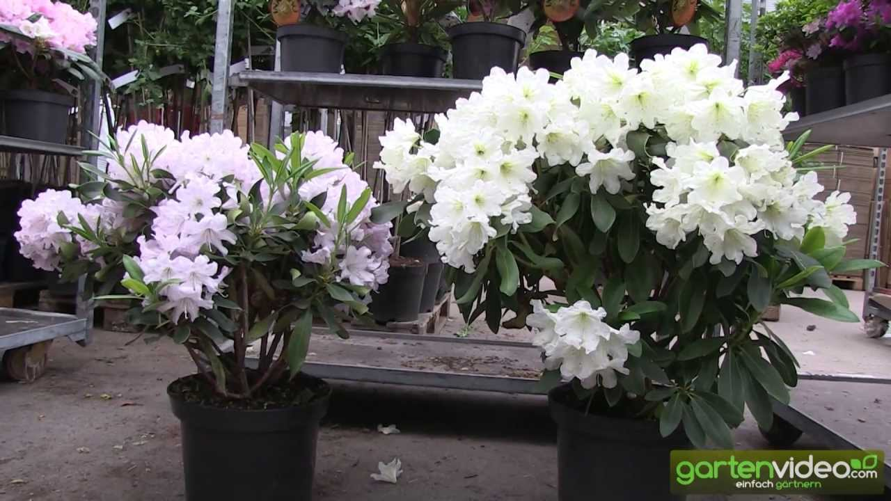 eine dufthecke mit inkarho rhododendron youtube. Black Bedroom Furniture Sets. Home Design Ideas