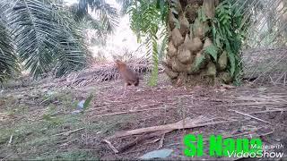 Ayam Hutan Pikat Betina 98