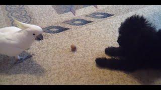 Знакомство щенок и попугай - день 1