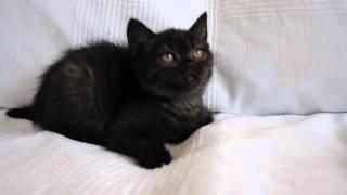 ДОННА  британский черный котенок в питомнике British House