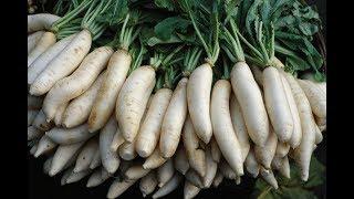 How To Harvest Radish ? - Radish Harvesting & Farming -White & Red & Yellow Radish Harvesting