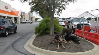 4 German Shepherds On Downs At Home Depot In Hanover Pa Long With Cold Creek Dog Training.
