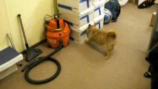 Poppet The Laser Chasing Terrier