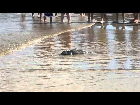Baby seal crawls to the ocean - Salisbury Beach, MA