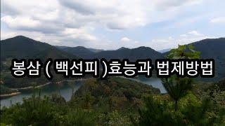 [ 약초 ] 봉삼(백선피)의 효능과 법제 방법