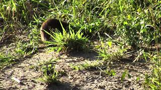 Group of Dwarf Mongoose tending to the 'business' of their morning