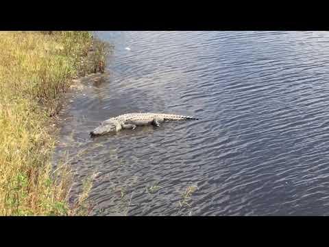 Alligator Ally!