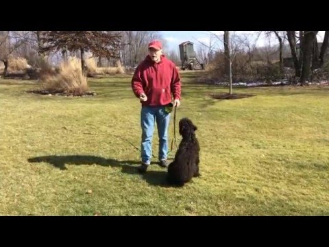 """Initial Recall Training Session with Labradoodle """"Sam"""""""