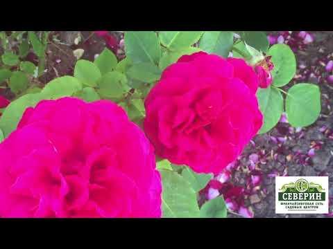 Розы: сорт Августа Луиза, Глория Дей, Юбилей Принца де Монако