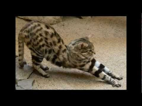 The Black-footed Cat: Africa's Smallest Wild Cat