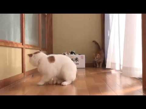 những hình ảnh đáng yêu của chú mèo lười shironeko - shironeko baby