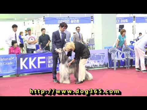2016.08.14 KKF DOG SHOW-Afghan hound