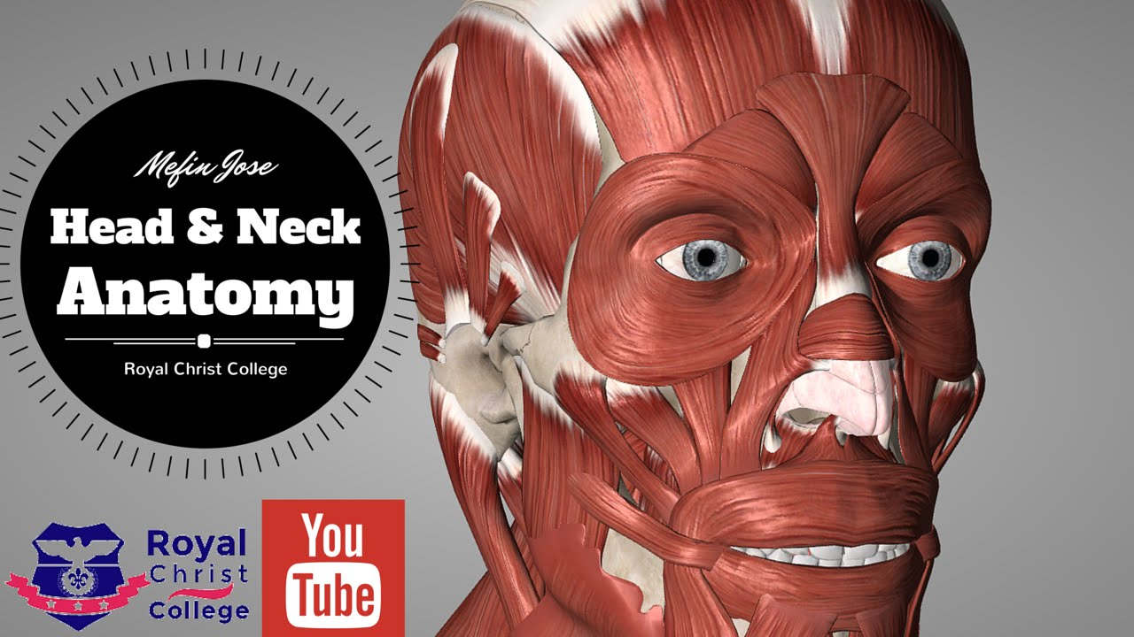 Head And Neck Muscle Anatomy Facial Muscles Neck Muscles Anatomy