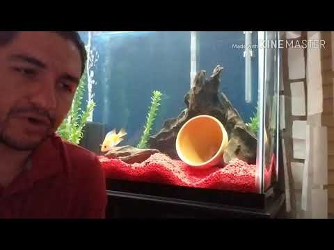 What To Feed A Red Devil Cichlid?