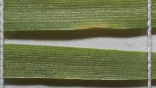 Single lesion caused by Zymoseptoria tritici on wheat leaf