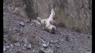 snow leopard 1st kill after being tagged