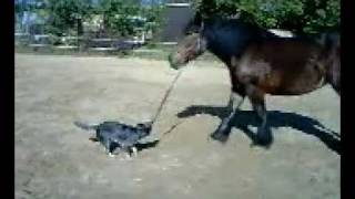 Cattle Dog Vs. Drafthorse...how Heelers Train Horses - Cattle Dog Style! ;)