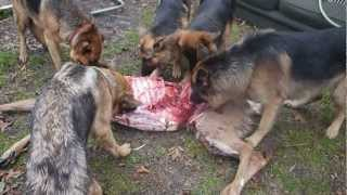 Raw Fed dogs eat a deer