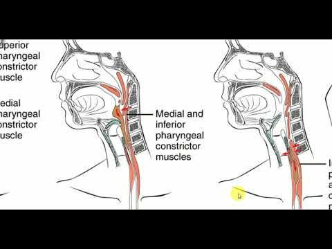 Ent Lectures Pharynx Tp 1 Clinical Anatomy Of Pharynx Youtube