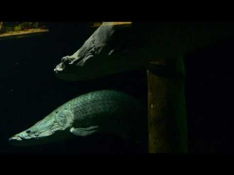 Giant Fishes in the Artis Aquarium - Artis Amsterdam