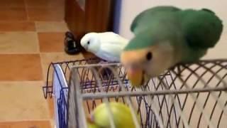 Попугай неразлучник во всей красе