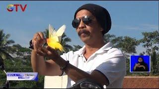 Unik! Burung Peliharaan Terbang Mengikuti Pemilik, Banjarnegara, Jawa Tengah - BIS 30/11
