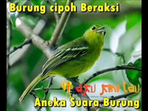 Aneka Suara Burung Merdu - Vol.1