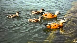 Птенцы огарей (Красная утка)