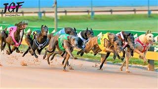 Campeón australiano carrera de galgos