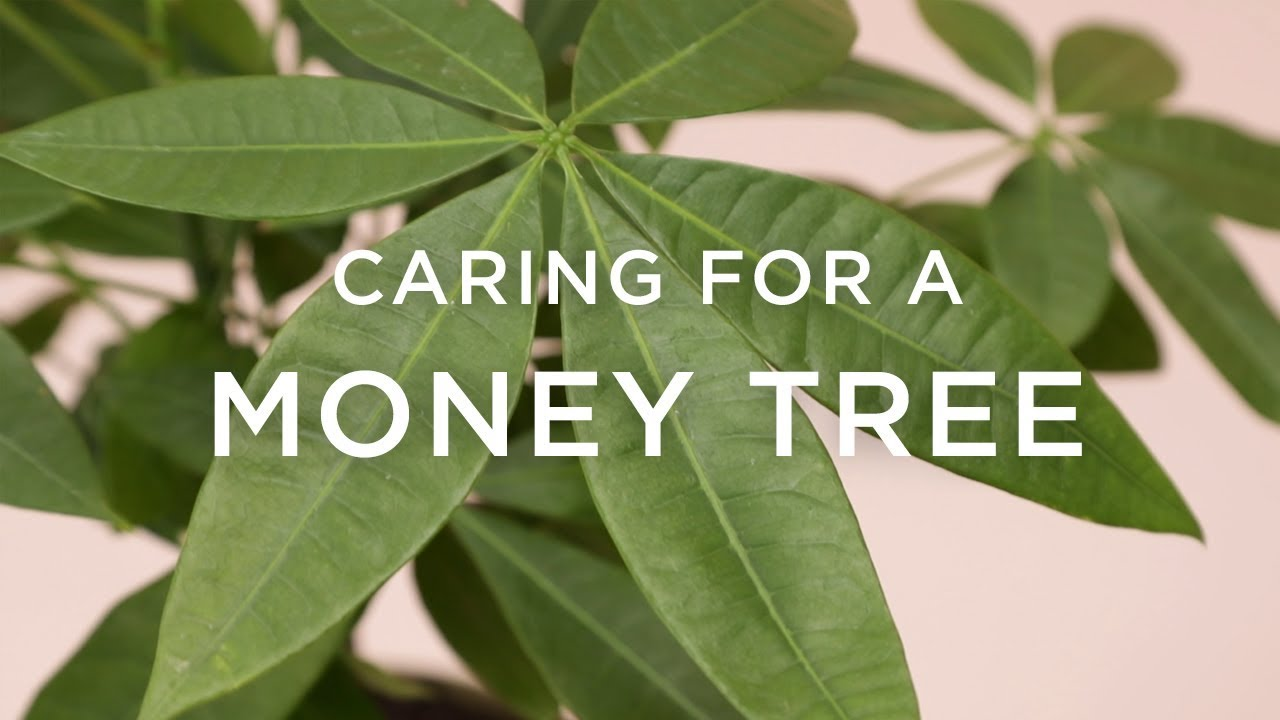 How to care for the money tree