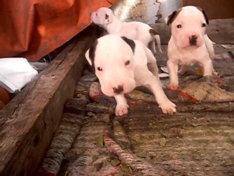 Cachorros american pitbull terrier monterrey