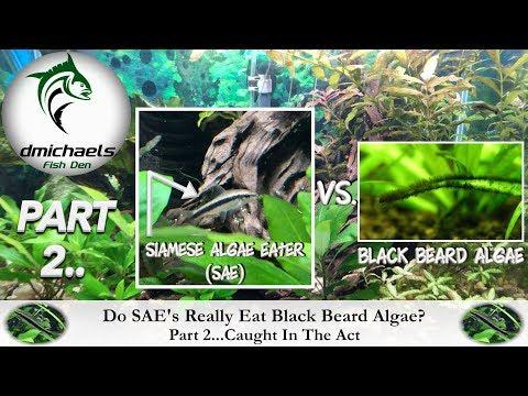 Part 2 - How Well Do Siamese Algae Eaters Eat Black Beard Algae?...Caught In The Act