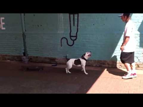 Pitbull Dog Talent - doing skateboarding and Dancing Spins - Street Show