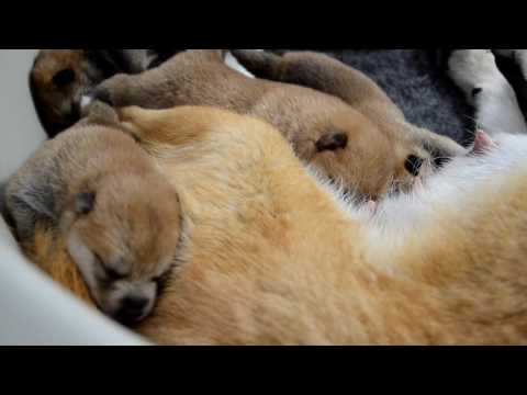 "Shiba inu puppy - one week old litter/miot ""C"""