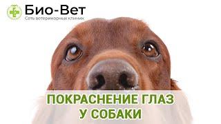Покраснение глаз у собаки. Ветеринарная клиника Био-Вет.