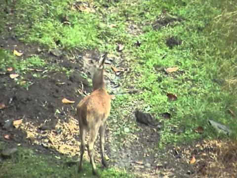 Rusa deer fawn in Mauritius