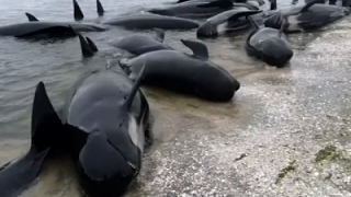 New Zealanders Race to Save 400 Stranded Whales