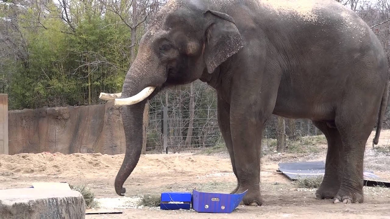 Asian elephant Raja 20th birthday party at Saint Louis Zoo YouTube