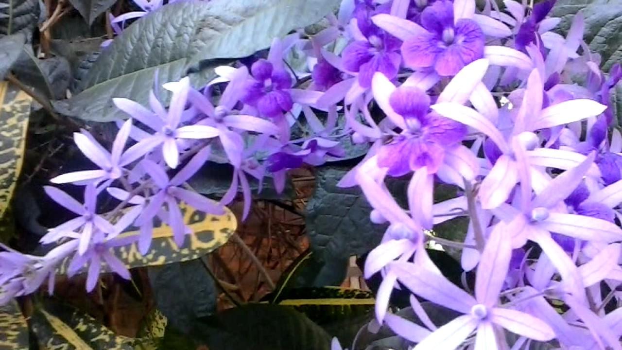 Planta Petrea Volubilis De Flores Moradas Plant Petrea Volubilis