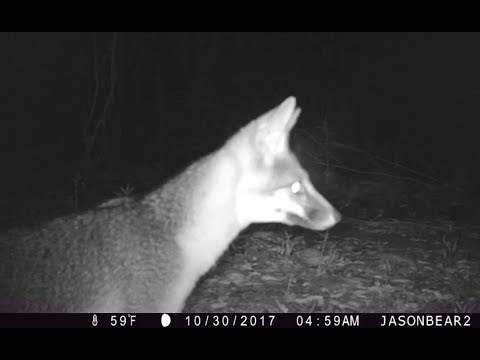 Foxes, Bobcats, And Coyotes!  Fall In Southern California