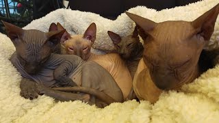Adorable Sleepy Kittens Can't Keep They Eyes Open | Don Sphynx