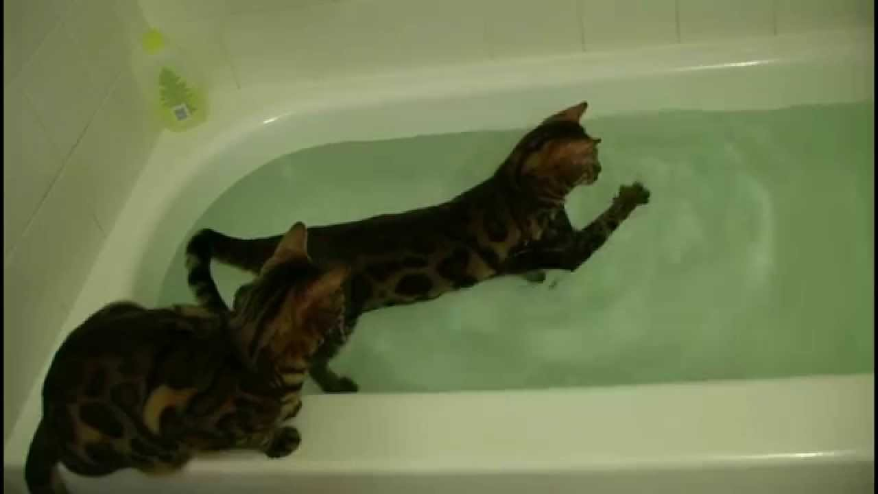 3b5e6a3aec Bengal cat and water - YouTube