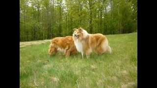 Golden Retriever And Collie Rough