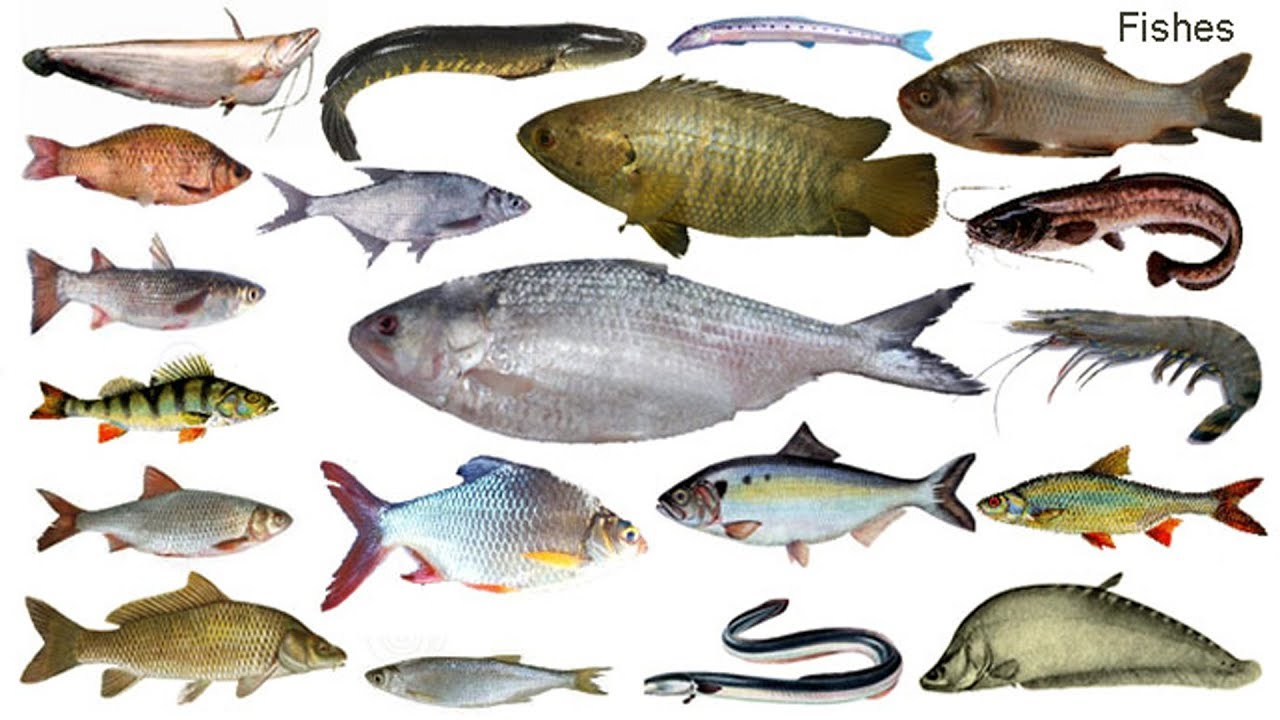 Fish Names Meaning Picture À¦® À¦› À¦° À¦¨ À¦® Necessary Vocabulary Tutorial Youtube