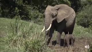Safari Live Face Book Live : A new born Elephant tries to stand for the first time Oct 17, 2017