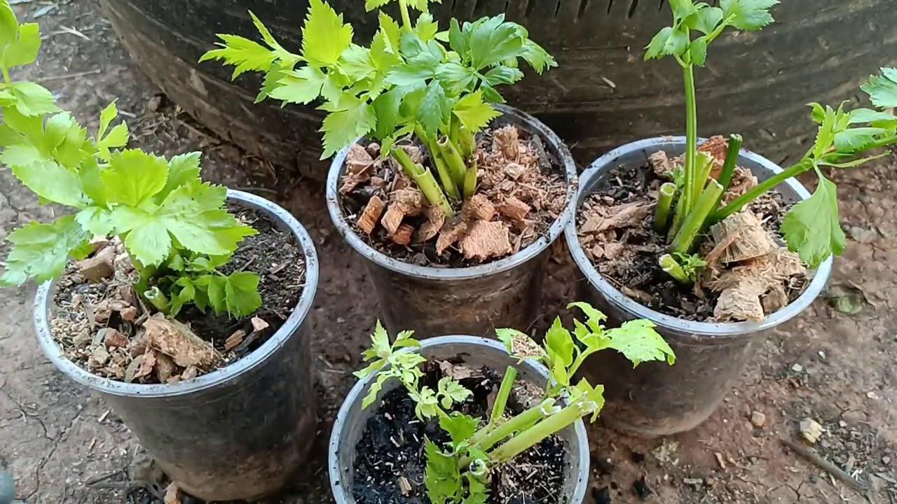 วิธีปลูกขึ้นฉ่าย!!ในแก้วไม่ต้องเพาะเมล็ดให้เสียเวลาใบใหญ่ใบเขียวโตเร็ว ทองปานปลูกผัก