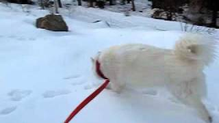 Anya The Siberian Husky Dog Playing In The Snow In Colorado On Veterans Day 11-11-11