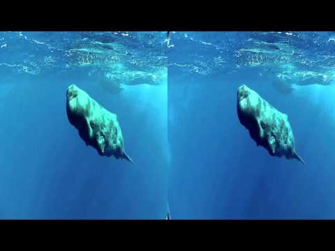 DAREWIN 3D HD - Freediving with the Whales Documentary in 3D - Documentario 3D sulle Balene