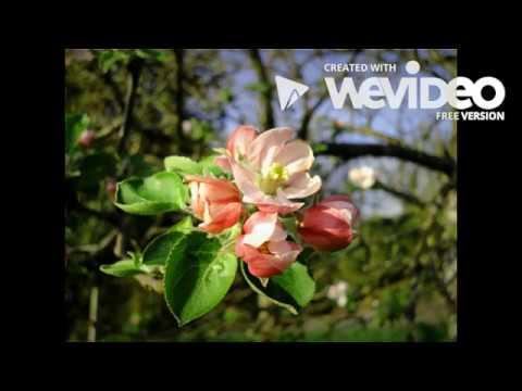 Floracion del Manzano en la Comarca de la Sidra - Asturias -Spain