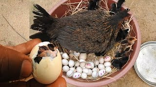Hen Harvesting Eggs to Chicks - Chicken Eggs To Born New Chicks